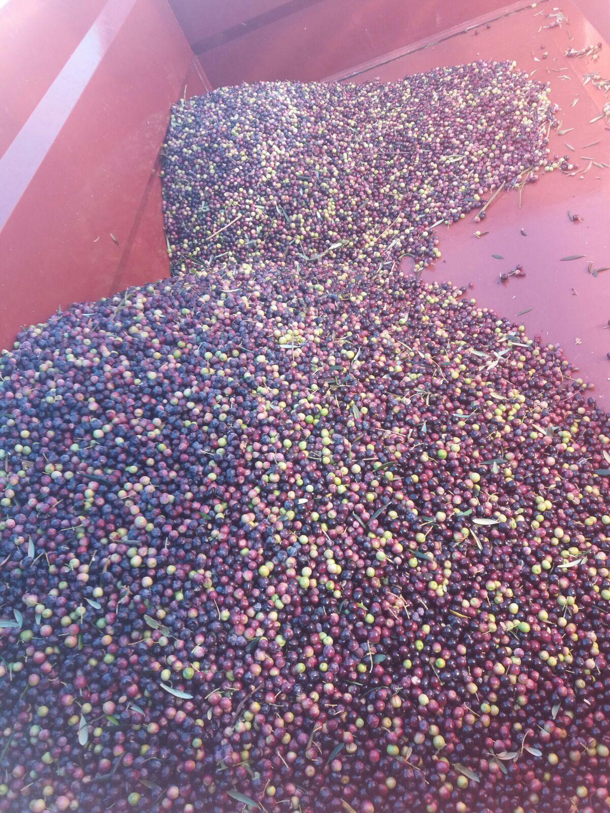 Récolte Olives avec une SELECTA photos Espagne (©alma-france.com 2018)