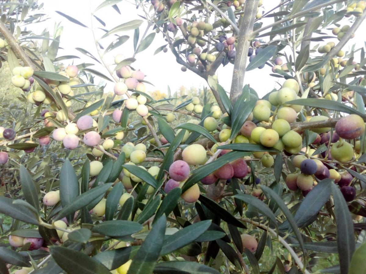 Récolte Olives avec une SELECTA photos Italie (©alma-france.com 2018)